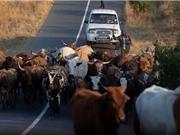Phát hiện cấu trúc gene giúp gia súc chống lại khí hậu khắc nghiệt