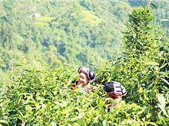 Nghiên cứu khai thác sử dụng nguồn tài nguyên chè Shan ở Việt Nam