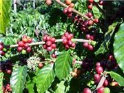 Biến đổi khí hậu ảnh hưởng lớn đến cây cà phê ở Việt Nam
