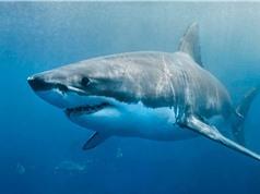 Nửa triệu cá mập có thể bị giết để sản xuất vaccine Covid-19