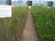 Nghiên cứu phát triển các nguồn gene lúa thích ứng với biến đổi khí hậu