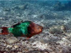 Các rạn san hô ở Florida đã mất gần 98% san hô