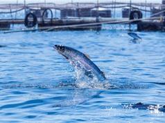 Kỹ thuật di truyền đang thay đổi chăn nuôi thủy sản