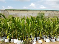 Công nghệ nuôi cấy cứu phôi dừa sáp