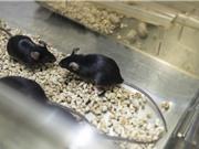 """""""Đảo ngược đồng hồ sinh học"""", phục hồi thị lực ở chuột già"""