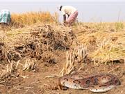 Ngộ độc do rắn cắn: Căn bệnh tàn phá mạng sống đang bị bỏ quên