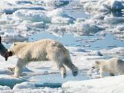 Băng tan khiến gấu Bắc Cực khó sinh sống
