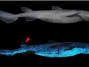 Phát hiện cá mập biển sâu phát sáng trong bóng tối