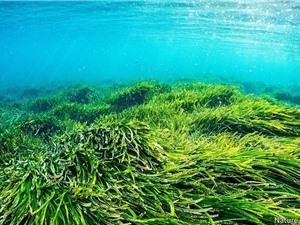 1 ha cỏ biển hấp thụ CO2 bằng 15 ha rừng nhiệt đới