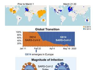 """Đột biến gene D614G khiến SARS-CoV-2hoàn toàn khác so với virus """"hoang dã"""""""
