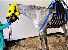 Dịch bệnh đe dọa ngựa đua bùng phát ở châu Âu