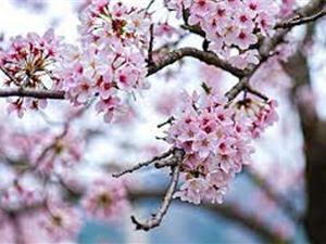 Mùa hoa anh đào sớm nhất trong 1.200 năm