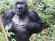 Lí do khỉ đột vỗ ngực