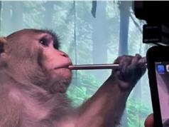 Khỉ chơi điện tử nhờ chip cấy vào não