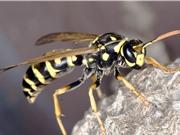 Ong bắp cày có giá trị với hệ sinh thái, nền kinh tế và sức khỏe như ong mật