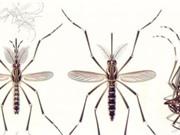 AI nhận diện được muỗi vằn từ các bức ảnh của Mosquito Alert