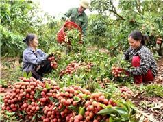 Bắc Giang: Đảm bảo chuỗi vải thiều an toàn trong mùa dịch