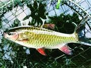 Cá bỗng Hà Giang được cấp chỉ dẫn địa lý