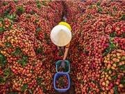 Bắc Giang xuất khẩu gần 11.000 tấn vải thiểu sang Mỹ, Nhật Bản