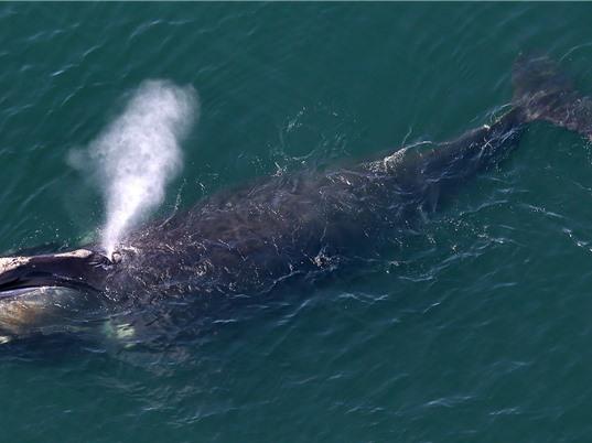 Cá voi trơn Bắc Đại Tây Dương ngày càng nhỏ hơn