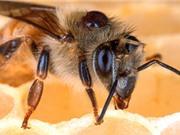 Diệt ký sinh trùng trên ong mật bằng nấm thay vì hóa chất