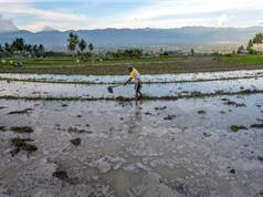 Biến đổi khí hậu đe dọa canh tác lúa gạo