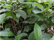 Phương pháp chiết hợp chất hỗ trợ điều trị tiểu đường từ cây lá đắng