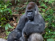Khỉ đột ở vườn thú Mỹ nhiễm COVID-19