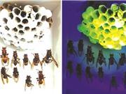 Phát hiện mới từ tổ ong bắp cày gợi mở ứng dụng của vật liệu huỳnh quang