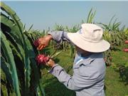 Nhật Bản bảo hộ chỉ dẫn địa lý cho sản phẩm thanh long Bình Thuận