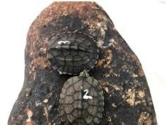 Nhân nuôi sinh sản thành công hai loài rùa quý, hiếm