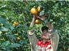 Mô hình trồng cam - nuôi ong ở huyện miền núi biên giới Vũ Quang
