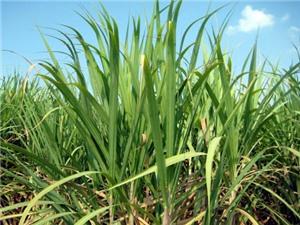 Sản xuất thử nghiệm 2 giống mía mới K88-92 và K88-200 tại một số tỉnh vùng Đồng bằng sông Cửu Long