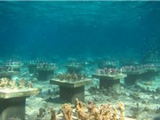 Đa dạng loài san hô giúp chặn đà suy giảm đa dạng sinh học